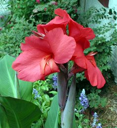Canna red - Google Search