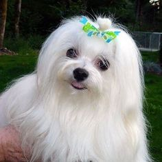 Just from the groomer ,,,,,,,, Maltese