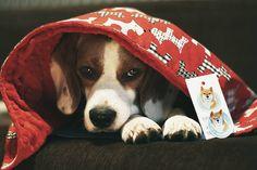 Tobby and his dog blanket #psiamatka