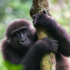 Western Lowland Gorilla in Odzala-Kokoua National Park, Republic of the Congo
