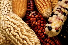 glass gem corn | Interview with Nick Ritar about Glass Gem Corn | Milkwood – Skills ...