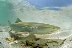 Lemon sharks are now protected by the shark fishing ban implemented in the Los Roques Archipelago off of Venezuela.