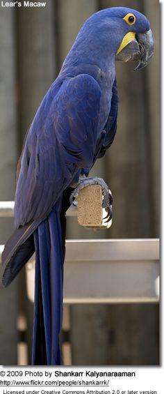 Hyacinthine Macaw or Hyacinth Macaw