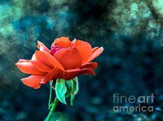 Beautiful Re Rose: See more images at http://robert-bales.artistwebsites.com/