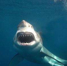 Tick shark cage diving off your Bucket List and come for a dive now. We saw 11 sharks on our charter yesterday. Orcas, Shark Photos, Shark Pictures, Small Shark, Species Of Sharks, Shark Bait, Megalodon, Underwater Life, Great White Shark