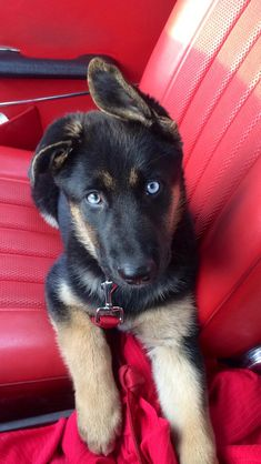 Blue eyed German shepherd