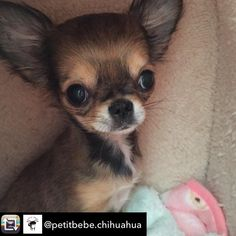 "#SuperCute #ChihuahuaPuppy ""Discover Chihuahuas at FamousChihuahua.com!"" Photo @petitbebe.chihuahua"