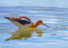 American Avocet By LeeAnn McLaneGoetz McLaneGoetzStudioLLC.com The American Avocet is one of North Americas most beautiful shorebirds. Reno Nevada #american Avocet,#birdwatching