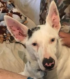 Chance is an adoptable Australian Cattle Dog (Blue Heeler) searching for a forever family near White Plains, NY. Use Petfinder to find adoptable pets in your area.