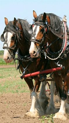 Draft horse - Clydesdale team.