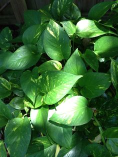 Epipremnum - Variegated house plant ~golden pothos on Etsy, $3.00