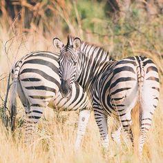Photo of Zebras on safari by Instagram user @haraldwe Visit South Africa, Zebras, Wildlife Photography, Jaguar, Cool Pictures, Safari, Tourism, African, Instagram Posts