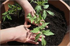 How to plant an urban vegetable garden.. on a deck.