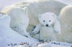 Polar bear snuggles. Baby Polar Bears, Cute Polar Bear, Cute Bears, Bear Cubs, Panda Bear, Tiger Cubs, Tiger Tiger, Bengal Tiger, Arctic Animals