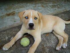 Ce chiot a hérité des magnifiques yeux bleus propres à la race husky et d'une silhouette de labrador