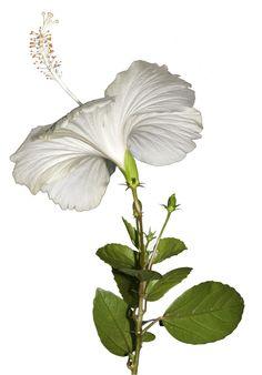 White Hibiscus Flower Of Life, Flower Art, Flower Crowns, Art Flowers, Flower Ideas, Wonderful Flowers, Beautiful Flowers Garden, White Hibiscus, Garden Fencing