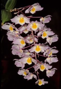 Dendrobium amabile [Synonym: Dendrobium bronckartii] - Found in Hainan China and in Vietnam at elevations around 1200 meters as a medium-sized, cool-growing epiphyte.