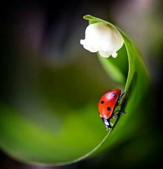 lady bug and lily of the valley Magical Nature Tour--this is so pretty and so perfect! Beautiful Creatures, Animals Beautiful, Cute Animals, Photo Coccinelle, Foto Macro, Beautiful Bugs, Beautiful Flowers, Tier Fotos, Lily Of The Valley