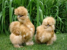 silkie breeds - Google Search