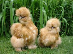 Silkie Bantam Chickens
