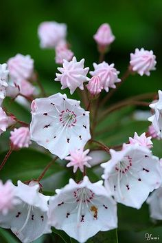 43 Best Heath Family Ericaceae Images Planting Flowers Plants