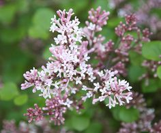 Syringa meyeri 'Palibin' - Abundant panicles of fragrant, lavender pink flowers in late spring and early summer and oval, dark green leaves. This lovely Korean lilac is ideal for a sunny, well drained shrub or mixed border. Compact and slow growing it's perfect for the smaller garden or where space is limited.