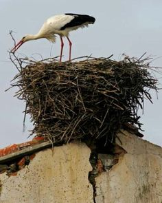 Stork Nest every year the male flys ahead to the exact same roof top builds the nest and waits for his female. Pretty Birds, Beautiful Birds, Nester, Vintage Illustration, Nest Building, Wild Birds, Birds 2, Bird Watching, Bird Art