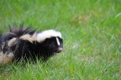 Garden pests:  Keep an eye out for skunks, groundhogs. They are having their babies, which means they are looking for food. Leave the garden unguarded and your veggies won't stand a chance.