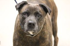 ADOPTED>NAME: Cam  ANIMAL ID: 34521788 BREED: Boxer mix  SEX: female  EST. AGE: 8 yr  Est Weight: 86 lbs  Health: Heartworm neg palmar and plantar interdigital surfaces erythematous, few ulcerations and moistness with slight discharge. a/p: pododermatitis, issues with her feet.  Temperament: dog friendly people friendly, such a SWEET SWEET girl!  ADDITIONAL INFO: RESCUE PULL FEE: $14 until the 14th  Intake date: 1/27  Available: now