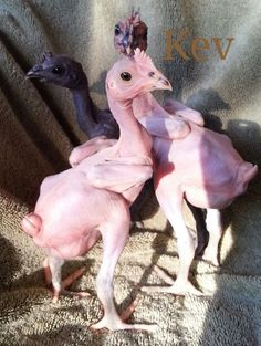 There are people breeding chickens that end up completely featherless!!! Not my style but WOW!