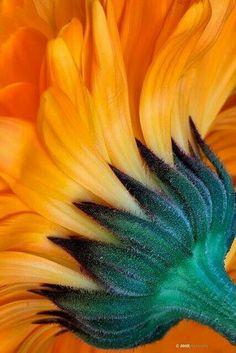 Sunflower - like a paintbrush Happy Flowers, Beautiful Flowers, Sun Flowers, Beautiful Textures, Fleur Orange, Sunflowers And Daisies, Sunflower Art, Sunflower Colors, Arte Floral