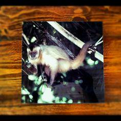 Brazilian monkey on infused metal. Goiania Brazil - www.RandiSilvaPhotography.com