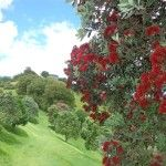 Big King Reserve walk loop - The end of November and the beginning of December is the best time to see the pohutukawa trees in blossom.