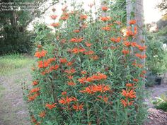 Leonotis leonurus    I want this plant - requires no irrigation, even here? plus its orange!