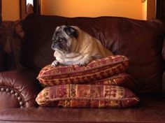 Pugs always need two pillows. LOL