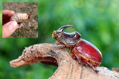 Chráňme si chrobáky, sú to klenoty našich záhrad | Záhrada.sk
