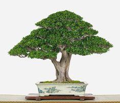 Recommendations For Bonsai Cultivating in Falkland, British Columbia / Colombie Britanique Buy Bonsai Tree, Bonsai Ficus, Bonsai Art, Bonsai Plants, Bonsai Garden, Ficus Microcarpa, Bonsai Forest, Plantas Bonsai, Bonsai Styles