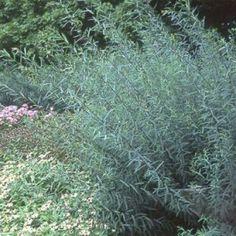 bittere wilg (Salix purpurea 'Nana')-directplant Backyard Plan, Bitter, Planting, Garden Ideas, 21st, Google, Outdoor Seating, Lawn And Garden, Plants