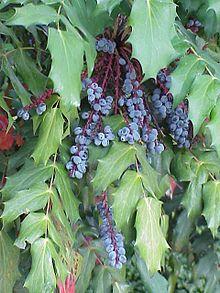 Mahonia bealei - Leather leaf Mahonia - Zone 6