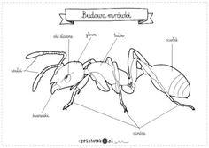 Znalezione obrazy dla zapytania budowa mrówki dla dzieci