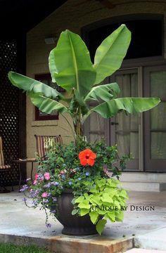 Go a little tropical!  Bananas make great centerpieces in patio gardens.