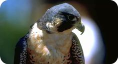 Falcon Animal Totem and Symbolic Falcon Meaning