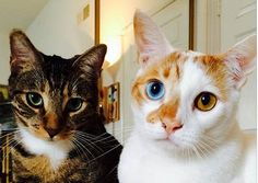 Odd-eye Cat And His Partner In Crime