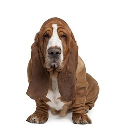 Even though it may look grumpy and moody, this #dog is one of the most friendly, loyal and easygoing #dogs - check out the #Basset #Hound