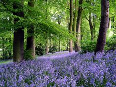carpet flowers Spring beneath my feet – Nature Forests HD Desktop Wallpaper Woodland Flowers, Forest Flowers, Planting Shrubs, Planting Bulbs, Cottage In The Woods, Walk In The Woods, Beautiful Places, Beautiful Pictures, Beautiful Sites