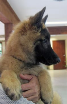 Echo has a striking (and cute) profile. Echo is a breed not commonly seen, a Belgian Tervuren. We were happy to meet him.