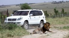 Dos leones más se escapan en Nairobi un día después de que otro fuera abatido La noticia se produce solo un día después de que los agentes del Servicio de Conservación de la Fauna keniana abatieran a un felino tras herir a un ciudadano fuera de los límites del parque nacional de la capital de Kenia Ayer los agentes mataron a otro león que también había escapado