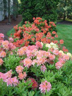 washington state rhododendron - Google Search