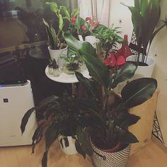 わが家グリーン化計画密かに実行中 IKEAで週末観葉植物買ってもろた #green #観葉植物ノアル暮ラシ #インテリアグリーン #ikea