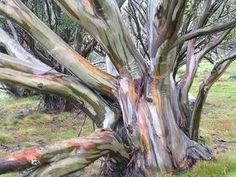 ★♥★ #Eucalyptus coccifera - #weird #unusual